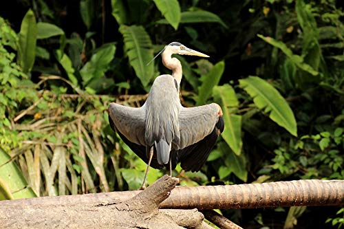 Home Comforts Peel-n-Stick Poster of National Park Tortuguero Canada Heron Heron Vivid Imagery Poster 24 x 16 Adhesive Sticker Poster Print