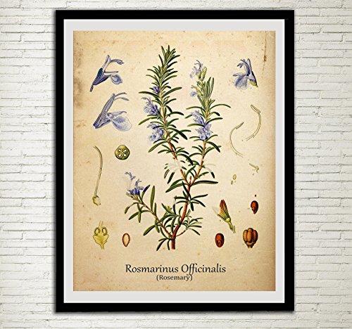 Rosemary Vintage Print Set Herbs Wall Art Rosamarinus Officinalis Antique Botanical Art Plants Kitchen Decor ()