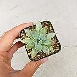 Pachyveria Glauca Little Jewel Succulent (2 inch)