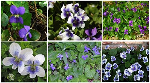 Casavidas Seeds Package: Violet Wild Flower Two Kinds Mixed Purple & White Blue Center Over 100 Seeds