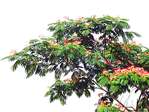 Golden autumn farm -10 MIMOSA/PERSIAN SILK TREE Albizia Julibrissin Seeds/Bonsai Persian Pink Silk ()