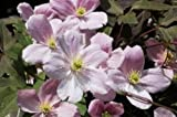 CLEMATIS MONTANA 'PINK PERFECTION'- STARTER PLANT - CUT BACK - DORMANT