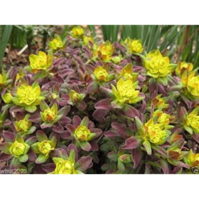 20 Euphorbia polychroma 'Bonfire Seed - an Attractive Low Growing Succulent : Garden & Outdoor