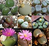 Organic Seeds: Conophytum Mixed 90-100 Seeds Mesemb Succulent by Farmerly