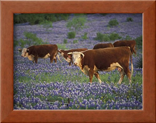 OKSLO Hereford Cattle in Meadow of Bluebonnets, Texas Hill Country, Texas, USA Framed