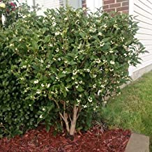 Fragrant Tea Olive - Live Osmanthus Fragrans Plants- The Fragrant Tea Tree You Can Smell 100 Feet Away- Large Plants that Bloom This Year
