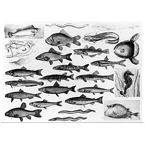 Osseous Fishes - GREATBIGCANVAS Poster Print Entitled Ichthyology - Osseous Fishes and Marisipobranchs by English School 30