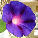 Morning Glory 100 seeds Ipomoea Purpurea 'Grandpa Ott' * Easy Grow