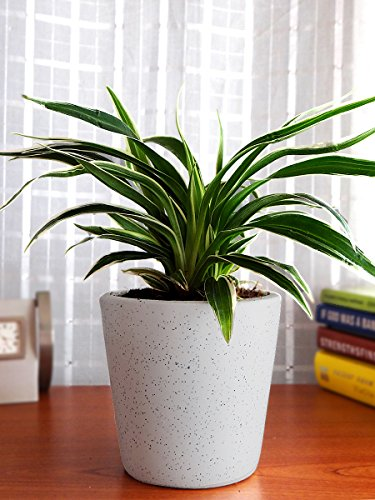 Rolling Nature Air Purifying Spider Plant in White Dew Bucket...