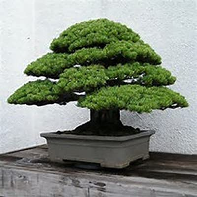 15 Seeds Chinese White Pine Tree use for Bonsai or Yard Tree