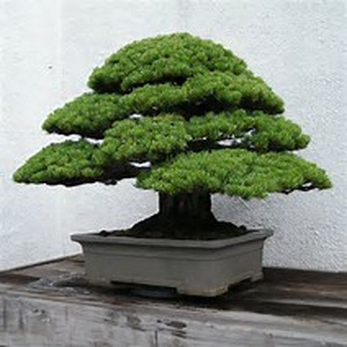 White Tree Bonsai Pine (15 Seeds Chinese White Pine Tree use for Bonsai or Yard Tree)