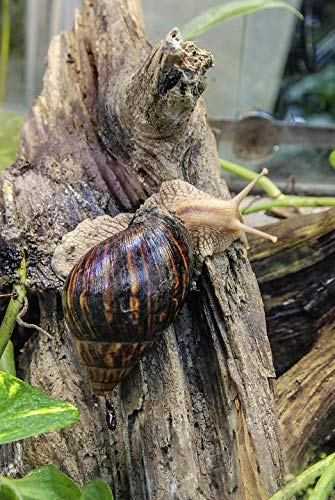 Photography Poster - Achatina Fulica, Large Agate Snail, 24