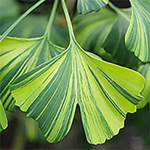 1 Pcs of 1.16 qt Ginkgo biloba 'Majestic Butterfly', Maidenhair Tree