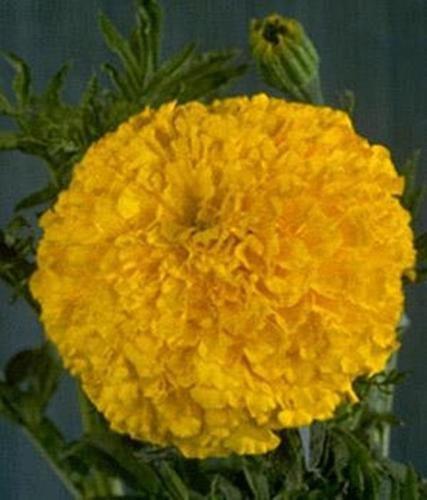 Marigold Seeds - French Crush Papaya Annual Seed