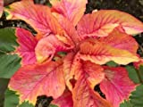 Summer Poinsettia Seeds Mix Beautiful Vibrant Colors