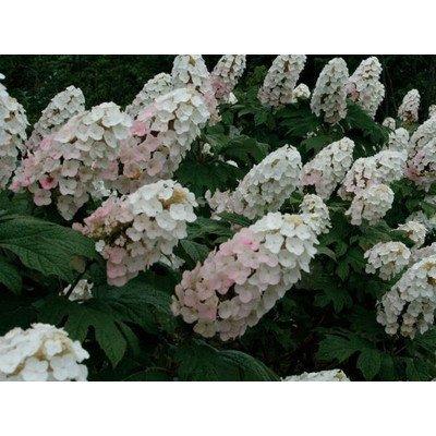アジサイ(紫陽花)カシワバアジサイ(柏葉紫陽花)白花 植木 苗木 落葉低木 B00SR48XJ6