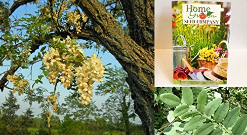 Homegrown Packet Black Locust Seeds, 30 Seeds, Black Locust Tree