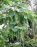 Catalpa ovata UNIQUE TREE Seeds!