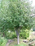 Honeycrisp Apple Tree - Healthy - Established - Trade Gallon Potted - 1 Plant