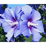 Hibiscus syriacus 'Bluebird' - Live Plant - Shipped 1 Foot Tall