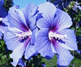 Hibiscus syriacus 'Bluebird' (1 foot tall in trade gallon containers) Blue bird bush with trumpet blooms