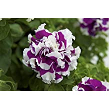 Double CASCADE ROSE PIROUETTE PETUNIA Seeds - Huge Double Blooms, High Germination, Fresh Seed (30-35 seeds)