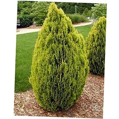 CJI 10 Seeds Thuja orientalis Aurea Golden Oriental Arborvitae - RK67 : Garden & Outdoor