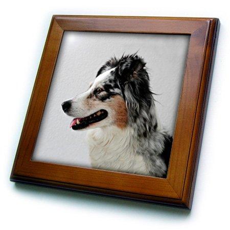 3dRose ft_1250_1 Australian Shepherd Framed Tile, 8 by 8-Inch ()