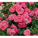 Coral Drift Groundcover Rose - Quart Pot
