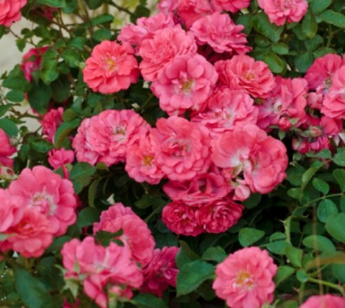 Coral Drift Groundcover Rose - Quart Pot by Amazing Plants