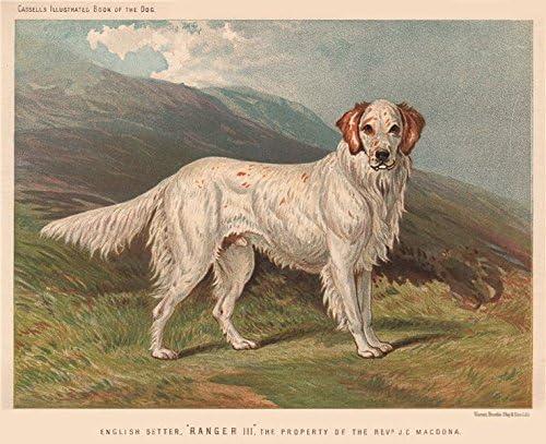 English Picture Print English Setter Dog Art Poster