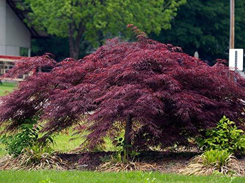 Crimson Queen Japanese Maple - Live Plant - Trade Gallon Pot by New Life Nursery & Garden