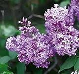 """Lilac Syringa Vulgaris, Lilacs, Lilac,(1) 12""""-18"""", 1 Grade, 1 Yr Plus, Hardy Live Plants, Lilac Bush, Lilac Plants, Lilac Tree, Fragrant Flower, Perennial Bush, Perennial Tree, Live Plants"""