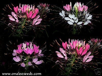 Pink, Rose & Violet Queen Cleome,spider Flower Seed - Queen Cleome Rose