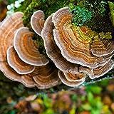 Hardwood Mushroom Liquid Culture Syringe 5 Pack