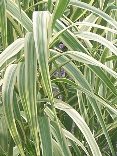 Variegated Reed (40 GIANT VARIEGATED REED GRASS SEEDS ( Arundo donax 'Peppermint Stick' ))