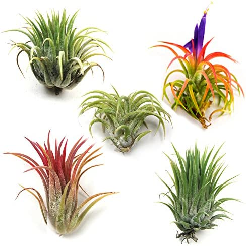 air-plants-ionantha-mexican-set-of