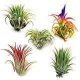 #8: Air Plants - Ionantha Mexican - Set of 5 Air Plants - Colors Vary Throughout The Year - Fast Shipping - Tillandsia House Plants - Includes PDF E-Book By Jody James