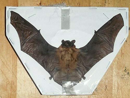 Tylonycteris Pachypus Spread Bat Real Indonesia Taxidermy