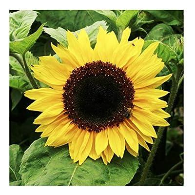 Henry Wilde Sunflower Seeds - Attracts Bees and Butterflies : Garden & Outdoor