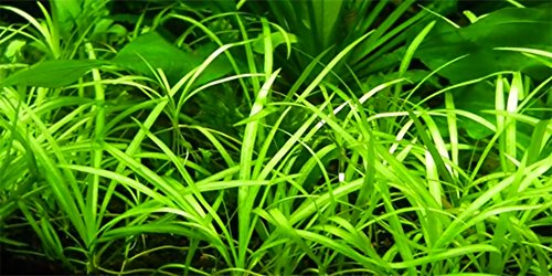 Image of AquariumPlantsFactory 10+ Dwarf Sagittaria Subulata Carpet Foreground Freshwater Live Aquarium Plants BUY2GET1FREE