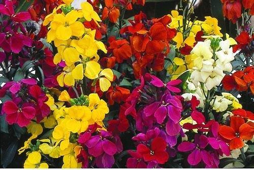 Just Seed - Flower - Wallflower - Harlequin Mix - 1100 Seeds