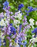 HYACINTHOIDES HISPANICA (20 MIXED BULBS) A.K.A Wood Hyacinth or Spanish Bluebells