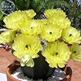 Kasuki Echinocereus subinermis Cactus Seeds, 12 Seeds, Professional Pack, producing Yellow Flowers 8 cm (3 in) Long
