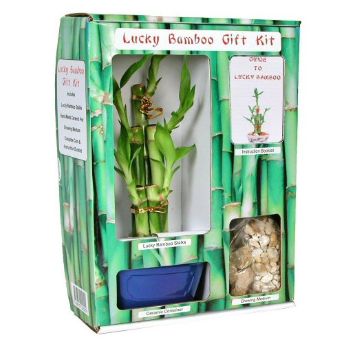 Eve's Lucky Bamboo Gift Kit - Complete with 5 Lucky Bamboo Stalks, Vase, Pebbles, Ready to Plant, Gift of Good Fortune and Luck