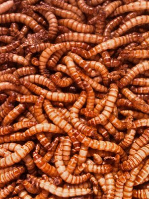 Giant Mealworms - Jumbo Mealworms for Feeding Reptiles, Chickens, Fish (500)
