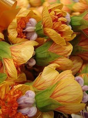 30 Flowering Maple Tree Shrub Chinese Bell Flower Seeds