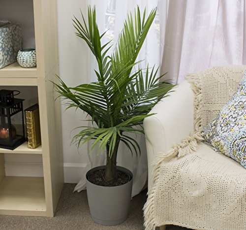 Costa Farms Majesty Palm Tree, Live Indoor Plant, 3 to 4-Feet Tall, Ships in Grow Pot, Fresh From Our Farm, Excellent Gift by Costa Farms (Image #5)
