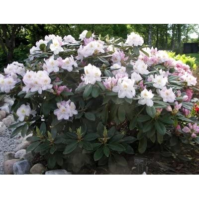 """Rhododendron Gomer Waterer - White Blooms with Hints of Purple - Grows Seven Feet Tall (15"""" to 21"""" Wide Plant – Typically Five Gallon) : Garden & Outdoor"""