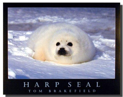 Cute Harp Seal in Snow Wild Animal Wall Decor Art Print Poster